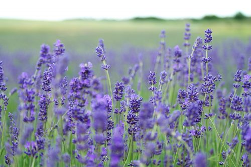 lavender_03